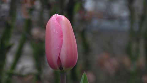 Tulipa peach blossom Stock Video Footage