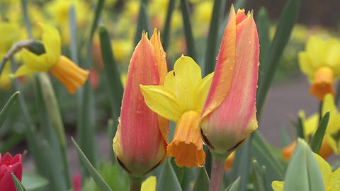 Tulipa ballerina Stock Video Footage