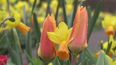 Tulipa ballerina Stock Video Footage