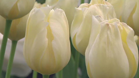Tulipa Malaysia Stock Video Footage