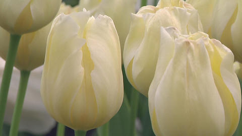 Tulipa Malaysia Footage