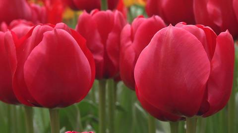 Tulipa Unique de France Stock Video Footage