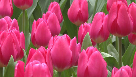 Tulipa Marvel Unique Stock Video Footage
