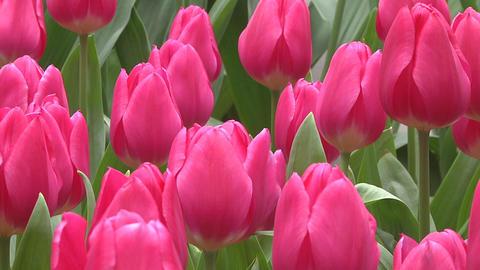Tulipa Marvel Unique Stock Video Footage