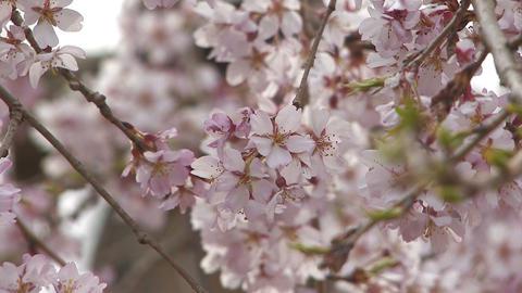 Weeping cherry tree in Yamanobe road,Nara,Japan_4 Stock Video Footage