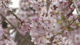 Weeping cherry tree in Yamanobe road,Nara,Japan_4 Footage