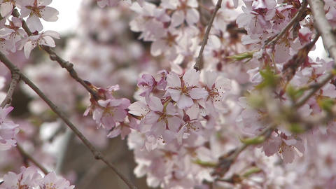 Weeping cherry tree in Yamanobe road,Nara,Japan_4 Stock Video Footage