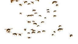 蜂 Animation