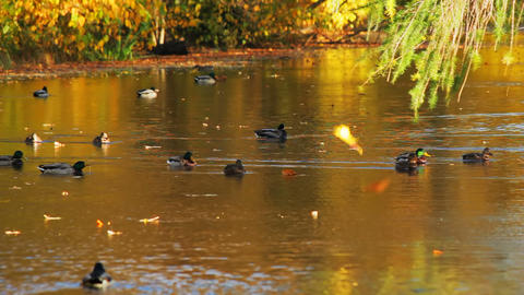 Autumn river and the duck Footage