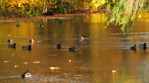 Autumn river and the duck Stock Video Footage