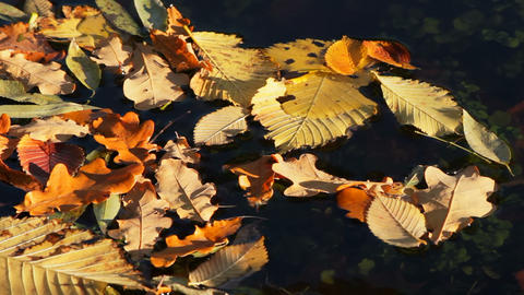 Autumn leaves floating on the water Stock Video Footage