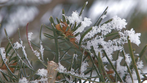 Fir Tree wore snow in Asahikawa,Hokkaido,Japan_2 Stock Video Footage