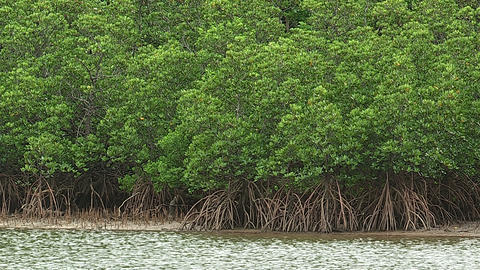 Forest of a Mangrove in Iriomote island,Okinawa,Japan_2 Stock Video Footage