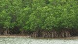 Forest of a Mangrove in Iriomote island,Okinawa,Japan_2 Footage