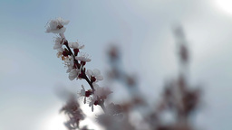 Twigs with peach blossoms Stock Video Footage