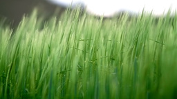 Green barley in the breeze Stock Video Footage