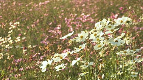Flowers of Cosmos,in Showa Kinen Park,Tokyo,Japan_2 Stock Video Footage