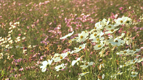 Flowers of Cosmos,in Showa Kinen Park,Tokyo,Japan_2 Stock Video Footage