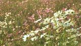Flowers Of Cosmos,in Showa Kinen Park,Tokyo,Japan_2 stock footage