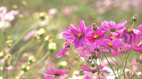 Autumn flower,Cosmos,in Showa Kinen Park,Tokyo,Japan_4 Stock Video Footage