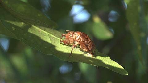 Husk of the Cicada in Showa Kinen Park,Tokyo,Japan_1 Stock Video Footage