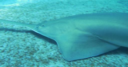 longcomb sawfish 01 Footage