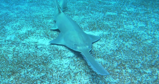 longcomb sawfish 04 Footage
