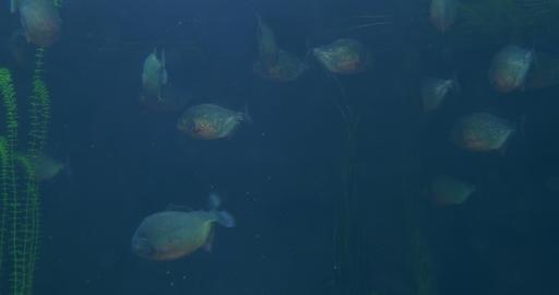 piranha 01 Footage