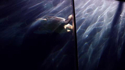 Turtle Swimming In Fish Tank stock footage