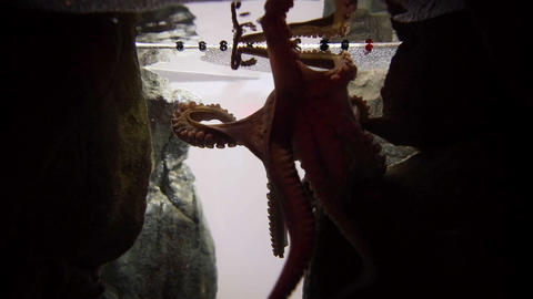 Octopus Swimming In Fish Tank stock footage