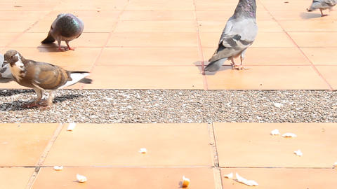 Pigeons Feeding by Crumb Footage