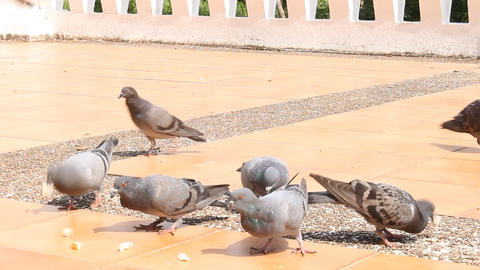 Doves are Eating Crumb Footage