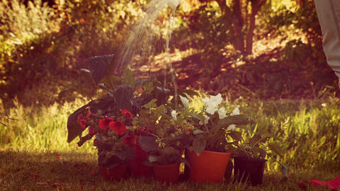 Gardener watering flower with watering can Footage