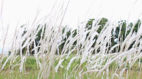Wind Blew White Grass Flowers Or Meadows On Natural Background stock footage