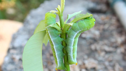Green Butterfly Worm are Eating Leaves Footage