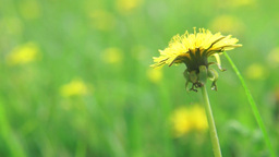 Yellow dandelion in a field under the wind Footage