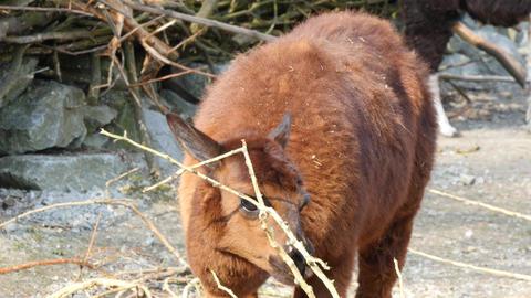 Lama stock footage