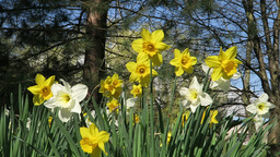 Daffodils in park Footage