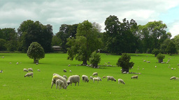 Sheep Grazing In Field stock footage