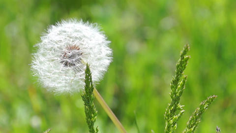 White Fluffy Dandelion Footage