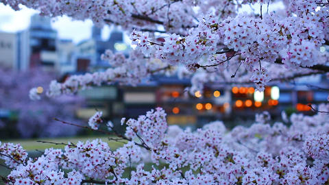 Cherry blossom season in Kyoto Footage