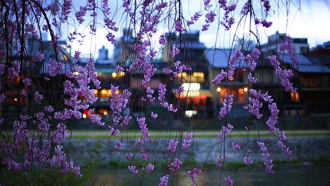 The branches of cherry blossoms in evening Kyoto Footage