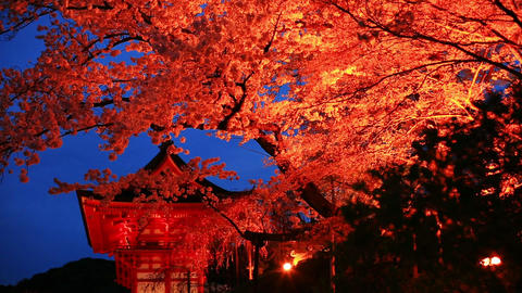Evening. Blooming cherry in Kyoto ライブ動画