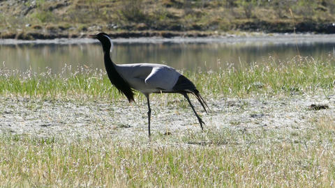 Demoiselle Crane Bird Walking In Grass stock footage