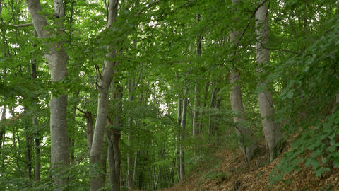 Trail in the Beech Forest Footage