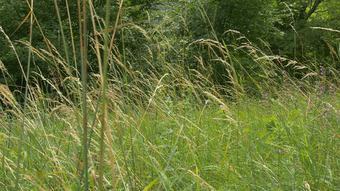 Tall Grass On Glade stock footage