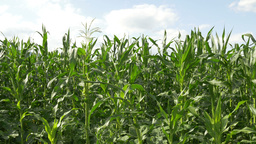 Ecological Cornfield View stock footage