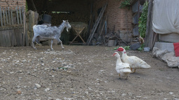 Livestock In Farmer Yard stock footage