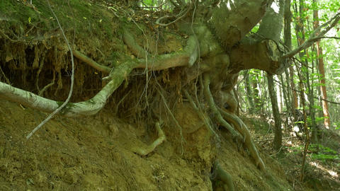 Uprooted Tree in Woods Footage