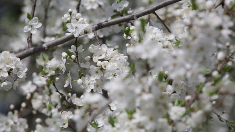 Blossoming cherry orchard in the spring Footage